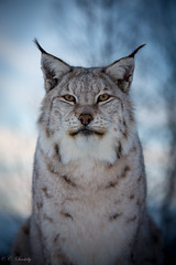 I wonder what it is thinking…. (CecilieSonstebyPhotography) Tags: wild portrait closeup cat canon nose eyes flash ngc ears stare wildanimal lynx gaupe langedrag catfamily eurasianlynx ef70200mmf4lisusm