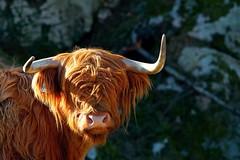 Highland cattle (Kjell-Arne) Tags: norway stord fitjar dfjorden