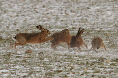 Kicking up a snow storm.Brown Hares (trickydicky1964) Tags: brown snow nature spring hare wildlife north norfolk explore 7d british mammals hares brownhare europaeus lepus 2013 sigma150500mmf563dgoshsm stiffkeyvalley