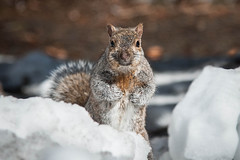 Squirrel (Justin Lo Photography) Tags: life winter wild snow canada cute ice nature animal animals squirrels wildlife squirel