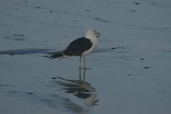 3 (Dwarskerser) Tags: seagull weskus seemeeu dwarskersbos westcoastsouthafrica
