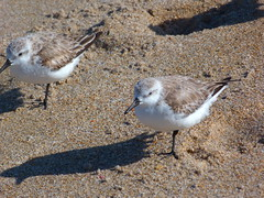 Delray Beach (bunnygoth) Tags: bird beach birds florida sandpiper delray sandpipers 2013