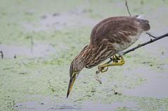 Keoladeo-2458-Edit.jpg (jc_on_vacation) Tags: india birds animals asia places herons indianpondheron ardeolagrayii keoladeo