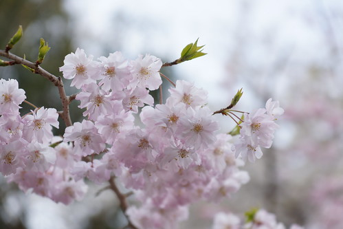 枝垂桜 weeping cherry tree