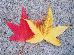 Leaves (shaire productions) Tags: autumn red orange plants plant green fall nature floral leaves yellow fauna leaf flora image seasonal picture pic growth vegetation transition turning plantlife imagery
