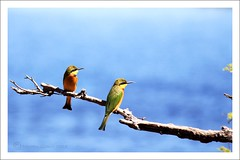 Little Bee Eaters (Nuwan Gomis) Tags: africa birds botswana africansafari animalportraits 2013 chobenp thewildlife canonefs55250is natureandphotography canoneos550d birdsinafrica