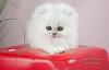Les Persans de Fannie (Les Persans De Fannie) Tags: cats pets cat persian chats kitten chat chinchilla animaux fannie penseur chaton chatons persan