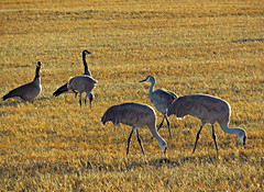 Canadian Geese and Sandhill Cranes (Colorado Sands) Tags: usa birds america us geese colorado unitedstates feeding eating wildlife aves cranes northamerica canadiangeese migration sandhillcranes migrating montevista gruscanadensis southerncolorado riograndecounty largebirds springmigration coloradowildlife sandraleidholdt greatersandhillcranes largecranes sandyleidholdt