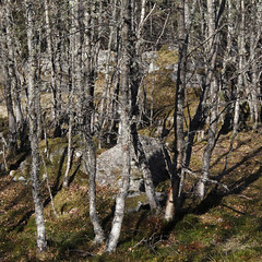 Birches on banks of Garry River (Gordon Haws) Tags: perthshire riverbed struan rivergarry calvine blairatholl hydroelectricity garryriver