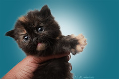 my cat (Ali Omran) Tags: baby beauty cat fly cool nice eyes kitten hard kittens sight pure softbox stay sins