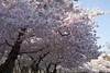 Cherry Blossoms Wed 10 Apr 2013  (160)  Washington DC (smata2) Tags: this you good national cover photograph be pick geographic titlephotosharingimg a i are height48 hrefhttpwwwflickrcomgroups83374492n00 srchttpstaticflickrcom1042978201971b62ce7b44ojpg width129 altnominateda hrefhttpwwwflickrcomgroups83374492n00national enougha