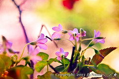Lavender Sorrel **. ( Nana) Tags: life light green spring colorful natural taiwan wildflowers  simple   taiwan beautifulflower  goldamazingdetails
