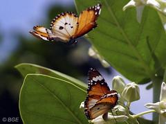 Butterflies (Beegee49) Tags: butterfly 1001nights thegalaxy flickraward5 mygearandme magicmomentsinyourlifelevel1 elementsorganizer11 me2youphotographylevel1 vigilantphotographersunite vpu2 vpu3 vpu4