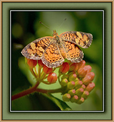 Pearl Crescent On Butterfly Weed (vidterry) Tags: pearlcrescent butterflyweed iso1000 wbcloudy nikkor105mmmicro ev10 naturesharmony nikond7000 photographyforrecreation rememberthatmomentlevel1 12500thf11 bestevergoldenartists vigilantphotographersunite vpu2 multipointaf