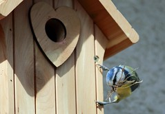 J77A5046 -- Our Blue Tit tenant struggling with some building materials (Nils Axel Braathen -- Thanks a lot for +200K views) Tags: nature birds wildlife bluetit fugler oiseaux blaumeise marlyleroi msangebleue blmeis vogeln cyanisescaeruleus