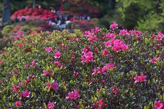 azalea -  (turntable00000) Tags: flower japan tokyo shrine sony azalea 365   nex nezu   turntable00000