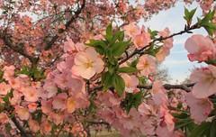 Cherry blossom (langkawi) Tags: pink dc washington cherries rosa bloom cherryblossom sakura langkawi yoshino kirschbluete 2013