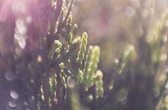 Lente Invertida (Andrey Germano) Tags: macro tree pine lens flare reverse