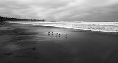 What Sand Pipers Do (gcquinn) Tags: ocean california beach pier sand surf geoff lajolla quinn surfers geoffrey shores pipers sandpipers dsc3805ab