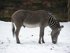 Zoo Nuremberg: Grvy's Zebra | Grvy-Zebra (W i l l a r d) Tags: zoo nuremberg zebra tiergarten nrnberg