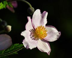 Anemone hupehensis - Herbst-Anemone (Kat-i) Tags: herbstanemone anemonehupehensis blume flower ranunculaceae hahnenfusgewchs makro macro rosa pink blte blossom garten garden nikon1v1 kati katharina 2016