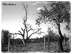rvore seca (Fbio & Carol) Tags: itasp brasil brazil amricadosul pretoebranco monocromtico planta rvore tree cerrado interiordesopaulo bw blackandwhite sonydsch55 nature natureza campo savana countryside field fazenda farm rural stio