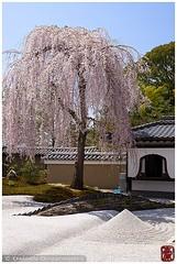 Cherry-blossom in Kodai-ji temple garden, Kyoto (Damien Douxchamps) Tags: japan  japon kansai  kinki  kyoto   higashiyama  kodaiji koudaiji temple     bluesky moss  sakura  cherryblossom recycle japanesegarden  karesansui drylandscapegarden rockgarden   wall bellflowerwindow
