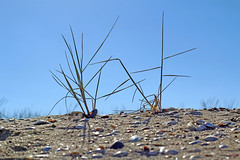 blade of grass (YanBiBiYan) Tags: spray sprig stalk blade grass mussel clam sands sky nature canon