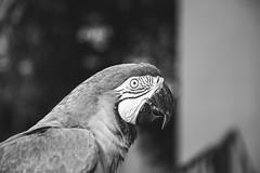 in black and white. (Pablin79) Tags: araararauna bird animal pet light shadows monochrome black white bokeh dof eyes posadas misiones argentina