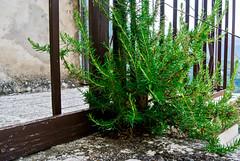 Nascere in un posto improbabile (frederikagrey1) Tags: rosmarino scale pietra montagna pianta rosemary rock plant