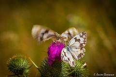Duelo (AvideCai) Tags: avidecai tamron90 macro mariposa invierno