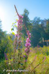Lythrum salicaria (Bernsteindrache7) Tags: flora fauna flower blume bloom blossom color light park landscape outdoor summer spring sony alpha 100 sky