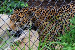 jaguar (THinLou) Tags: animals louisvillezoo
