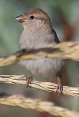 Side on (gordontour) Tags: nature wildlife ayrshire scotland clyde girvan bird sparrow