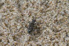 Shiny Green Underwear (brucetopher) Tags: tigerbeetle tiger beetle cicindela beach beachtigerbeetle insect bug critter creature tiny beauty beautiful pattern elytra maculations shell camouflage fast tease frustrating elusive animal outdoor pulse pulsing warning glow iridescent metallic stunning shimmer sparkle colorful
