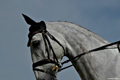 Rolex4 (NRJWphotography) Tags: horse rolex rolex2016 greyhorse dapplegrey dressage warmupring kentucky horsephotography
