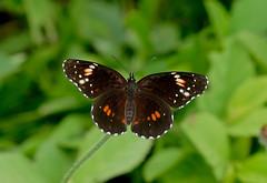 Bordered Patch ----Chlosyne  lacinia (creaturesnapper) Tags: borinquenmountainresort rincondelavieja costarica lepidoptera butterflies nymphalidae borderedpatch chlosynelacinia