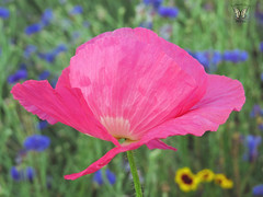 Pink Shirley Poppy (Swallowtail Garden Seeds) Tags: pink poppy poppies shirley shirleypoppy macro flower swallowtailgardenseeds flowermacro macroflower annual annualflowers