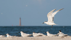 Sandwich Terns with Sand Island Lighthouse in Background (stephaniepluscht) Tags: alabama 2016 fort morgan tern terns sandwich flight wings beach lighthouse state historic site bon secour national wildlife refuge