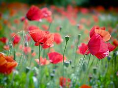 (Alin B.) Tags: alinbrotea nature maci poppies poppy red flower