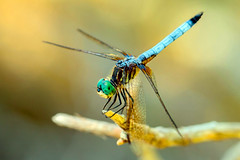Blue Dasher (swingaweigh) Tags: dragonfly dragonflies bluedasher bluedasherdragonfly bluedasherdragonflies canon7dmarkii canonef100mmf28lmacroisusm extensiontube extensiontubes