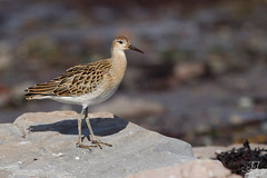 Combattant varié (Tifaeris) Tags: charadriiformes combattantvarié philomachuspugnax ruff scolopacidés bird oiseau