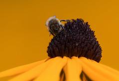 Golden Summer (FocusPocus Photography) Tags: rudbeckia blume flower biene bee makro macro sommer summer gelb yellow