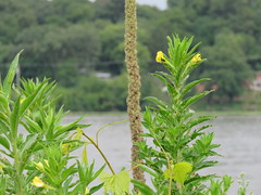 Along the river (JJP in CRW) Tags: iowa leclaire mississippiriver flowers