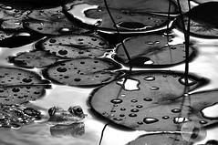 Blowing bubbles (firstlookimages.ca) Tags: nature natureportrait wildlife wildlifeportraits frog art artistic artisticmanipulation animals amphibian bw blackandwhite blackwhite color