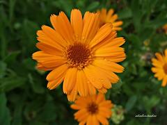 calendula  041 (adioslunitaadios) Tags: calendula flornaranja ptalos plantasyflores campo macro fujifilm