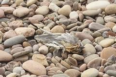 DSC_0755 (gsas777) Tags: pebbles beach dead bird gull coast spey bay scotland