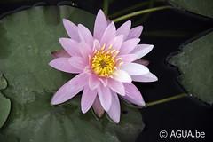 DSC_8308 (Waterlelie.be) Tags: 2010 columbus dustinmachinsky noordamerika nymphaea nymphaeapinkdawn oudersongekend ouderschap texas verenigdestatenvanamerika