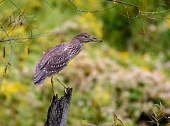 Black-crowned Night-Heron (snooker2009) Tags: blackcrowned nightheron bird wildlife nature pennsylvania young
