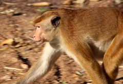 sri_lanka_trincomalee_07 (Kudosmedia) Tags: sri lanka trincomalee nelson fort fredrick harbour temple coast beach deer monkey legend fortress asia claringbold trevor